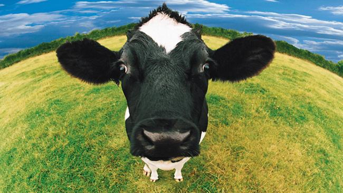 Cows and Greenhouse Gas