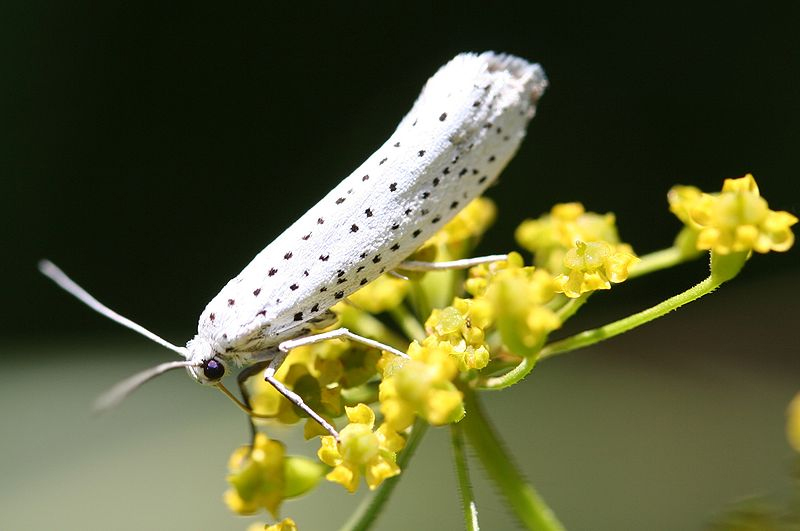 The bird-cherry ermine (Yponomeuta evonymella)